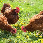 3017672-poster-1280-chickens